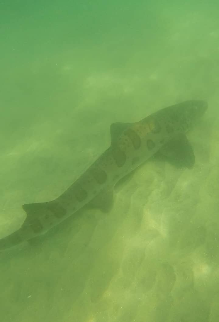 harmless leopard sharks!