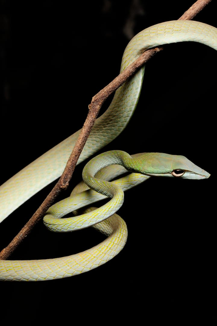 Oriental Vine Snake  (Ahaetulla prasina)