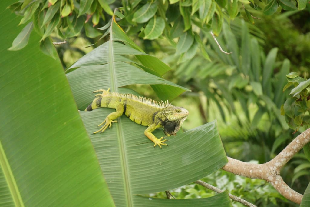 Iguana in the trees on the property