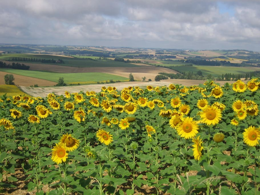 Roques sunflowers - all summer long