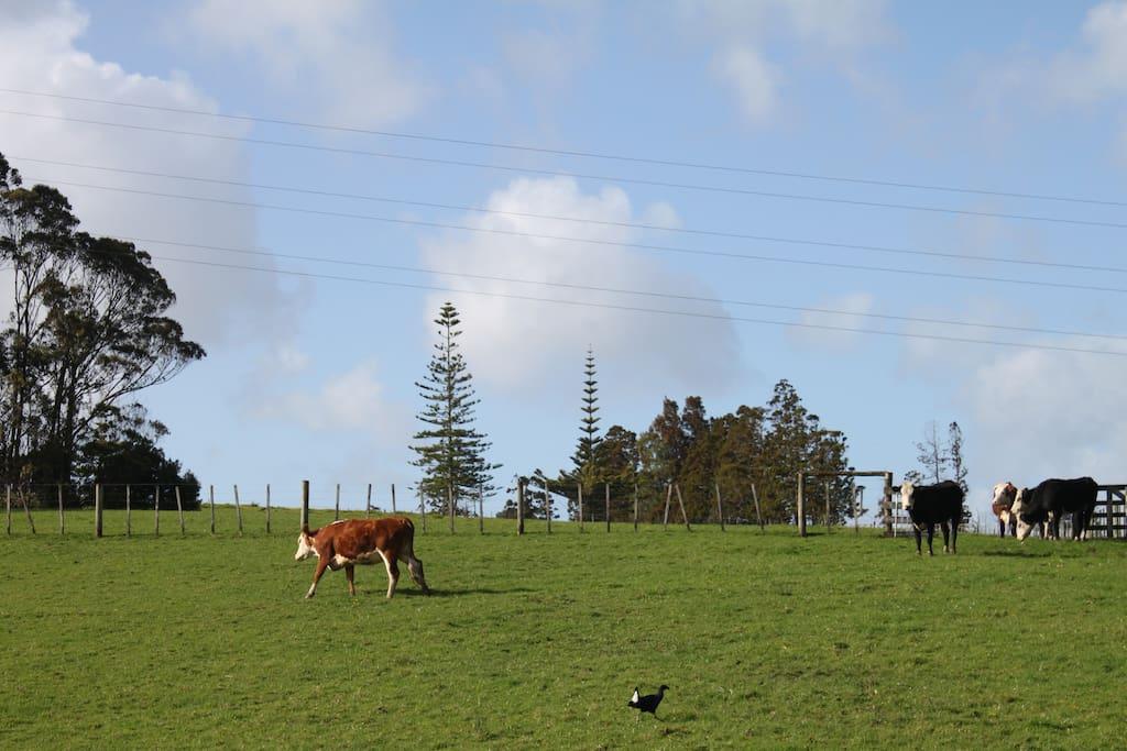 闲适的牛和自由的鸟