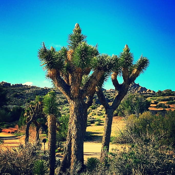 There is a forest of Joshua Trees surrounding the Cabin.