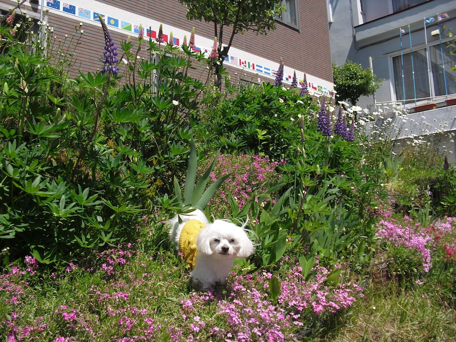 When ground pink (shibazakura) begins to be seasoned, other kind of flowers such as lupines, irises and KIKU (chrysanthemum) come into flower in my garden. My pet Samurai like to run about it.