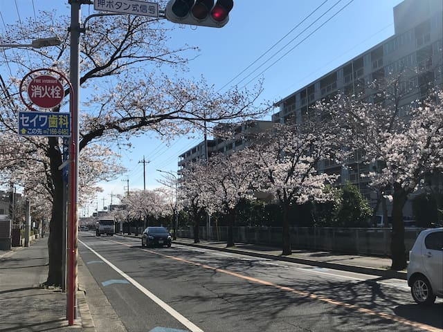 Beautiful cherry blossom street from Shin-Kashiwa station to YabFarm Lodge