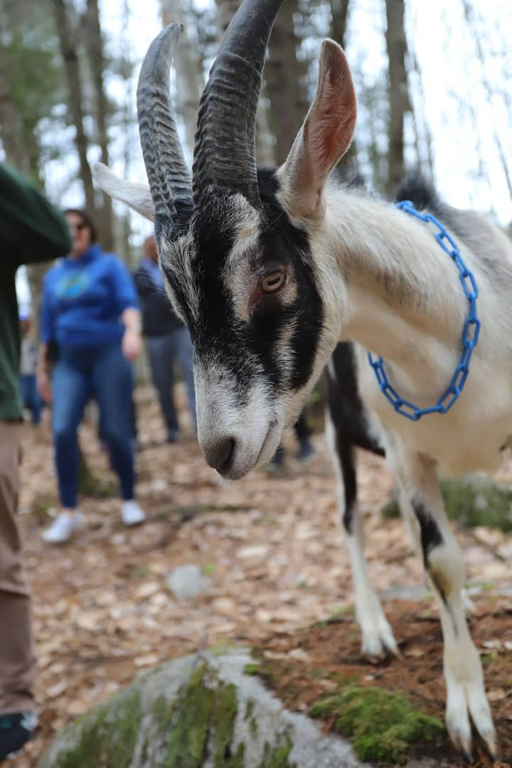 Lafayette the goat leads the way!
