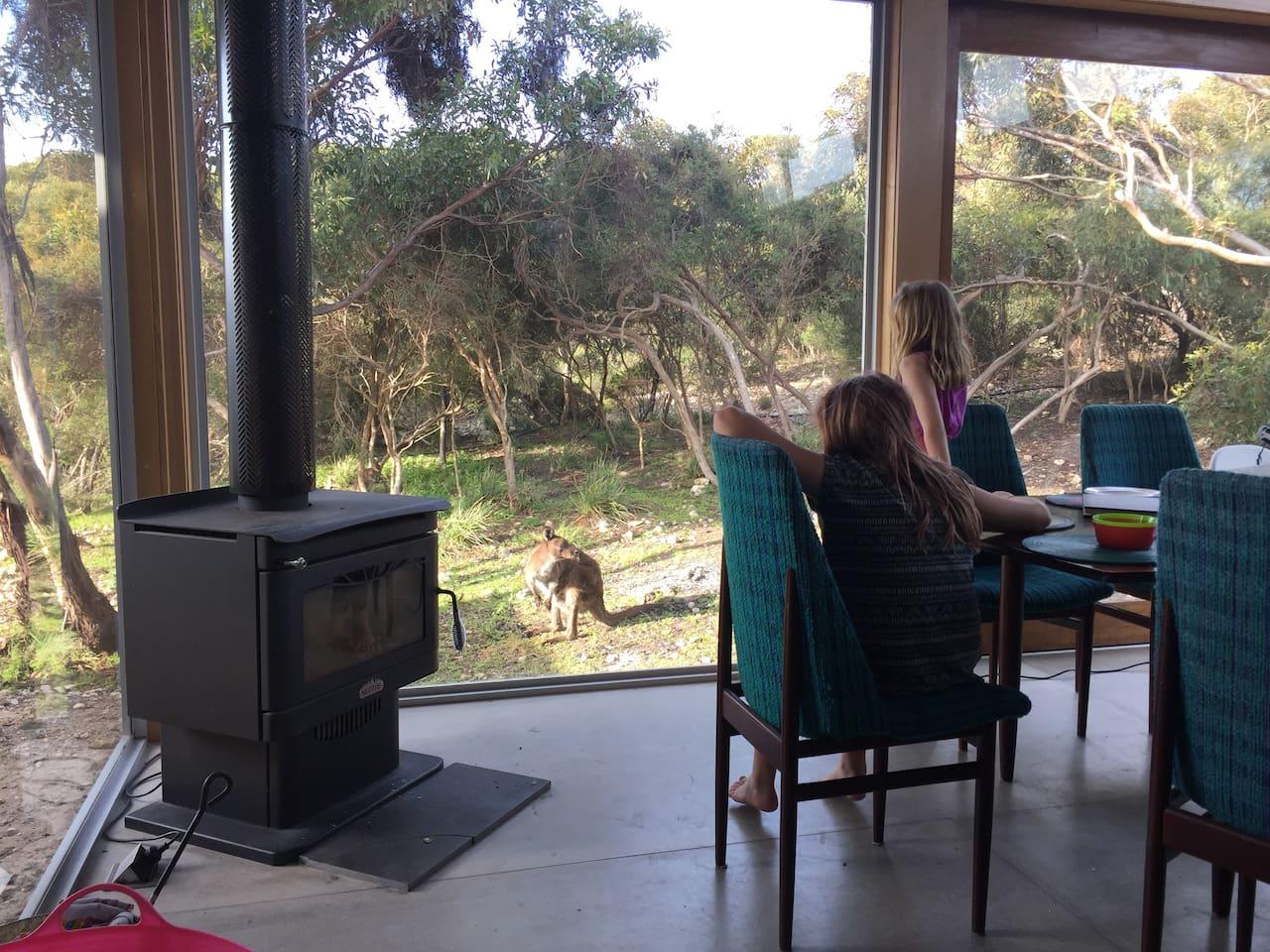 Kangaroo coming to visit