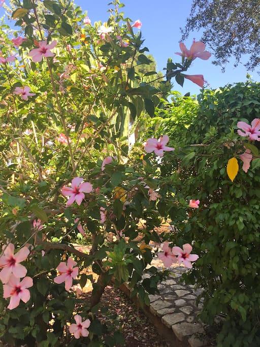 ibiscus del giardino
