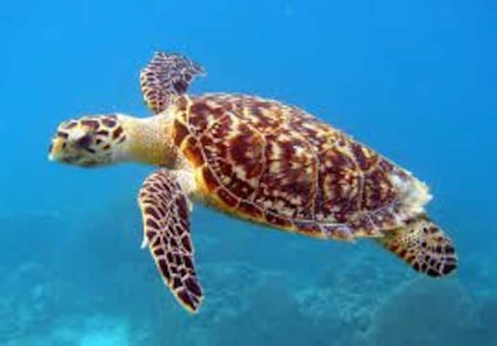 Caribbean frontbeach Turtle