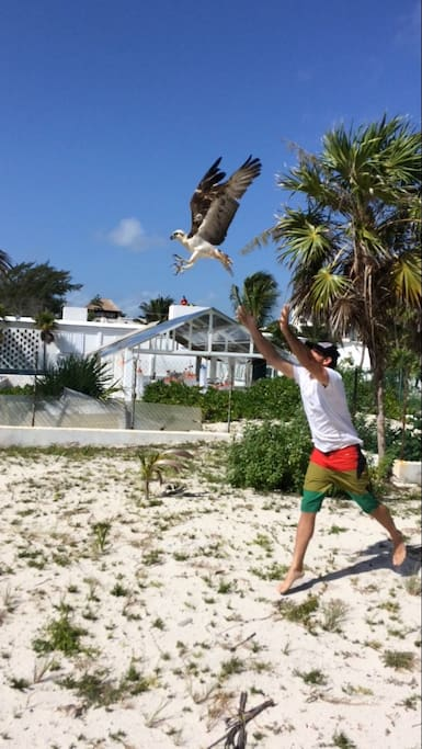 Releasing a Rehabilitated Osprey