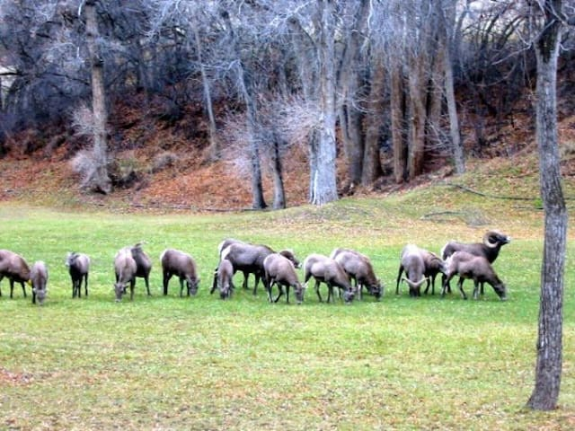 We have many forms of wildlife come through the ranch including big horn sheep, mule deer, and turkeys