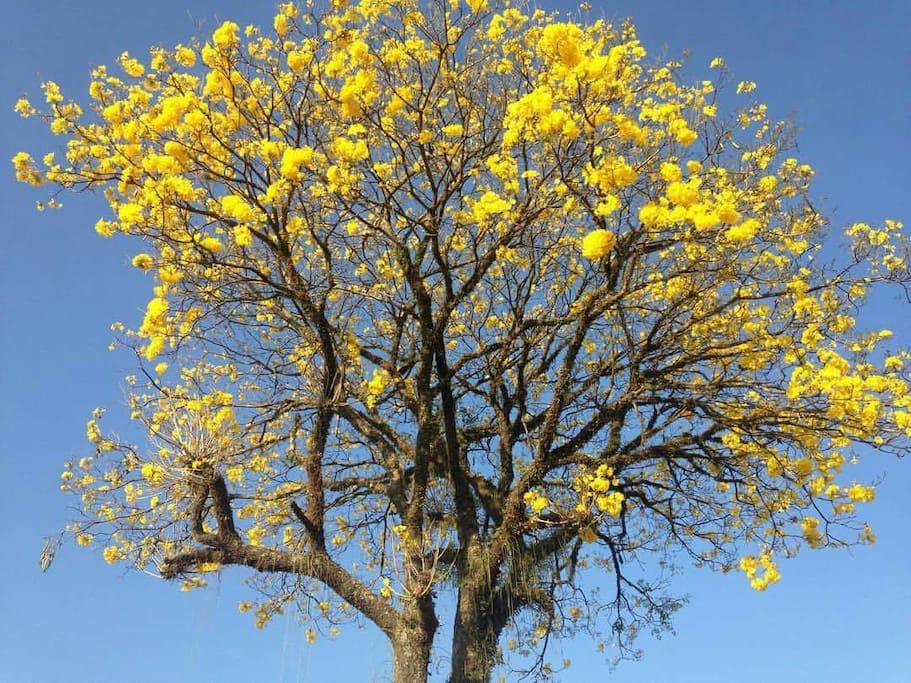 Lindo Ipê amarelo