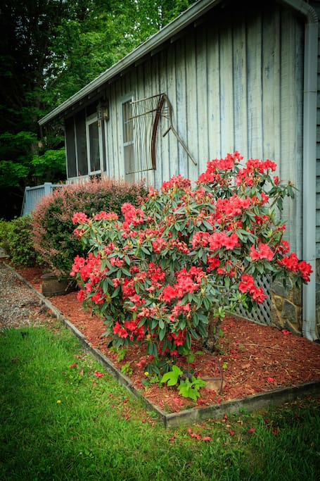 Rhododendron blooming