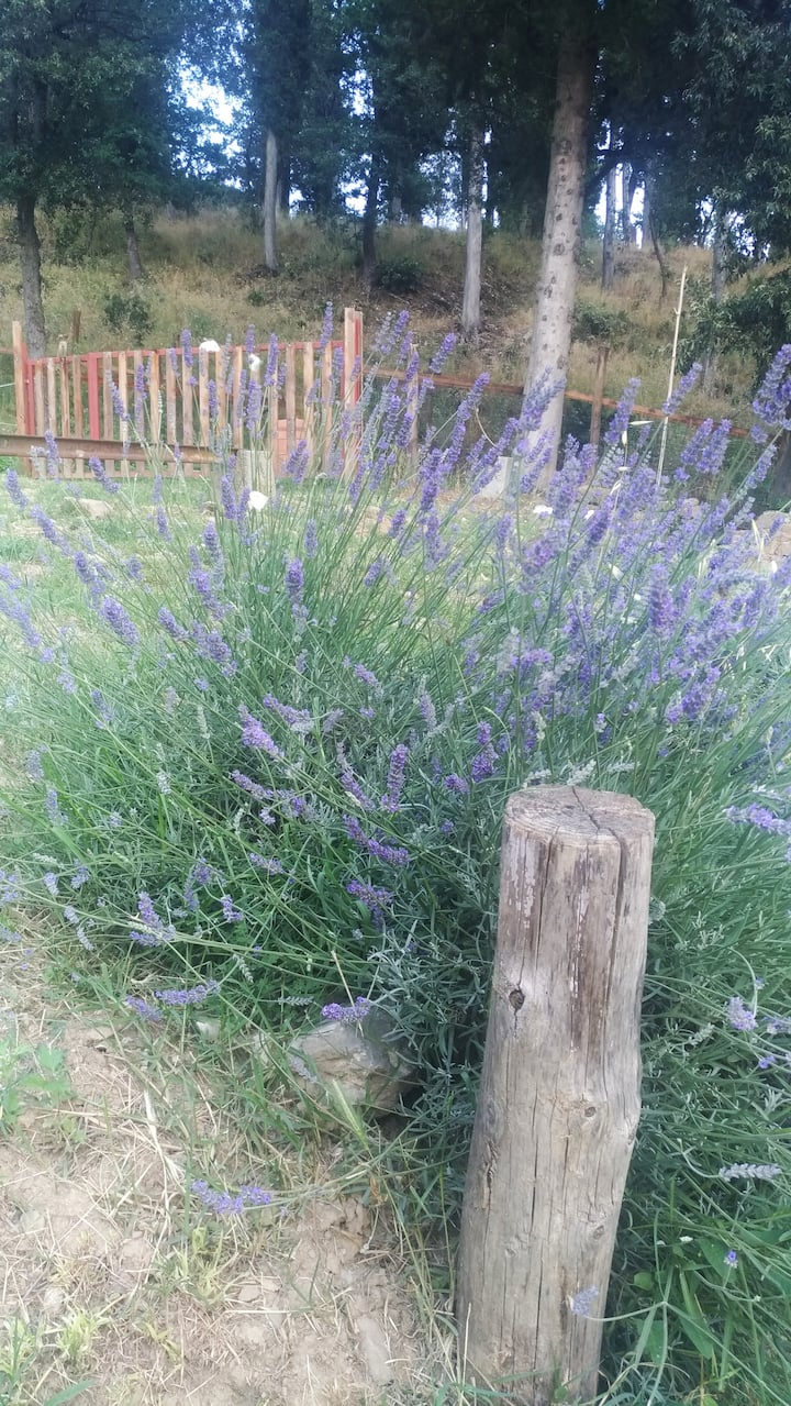 Lavander and butterflies