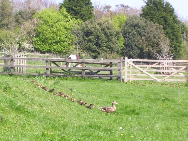 Wild mallard and ducklings
