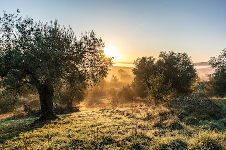 the 500years old olivetrees of my farm are ready for the harvest