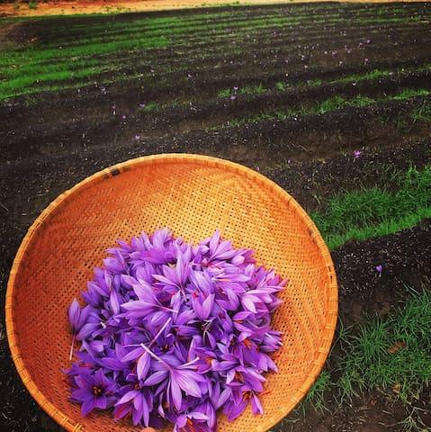 Saffron harvest (October-November)