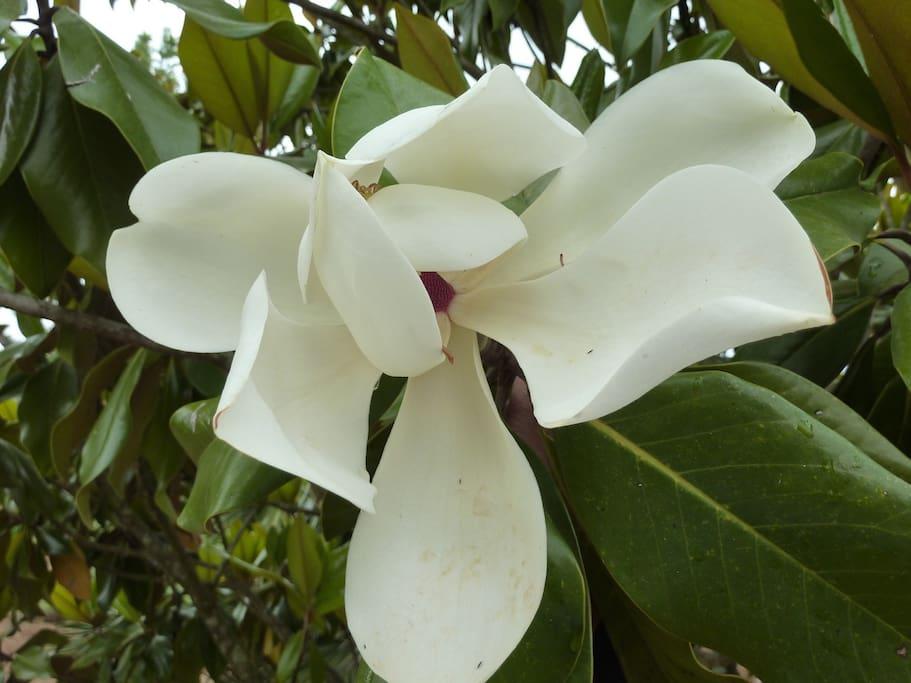 Tree Magnolia Grandi Flora