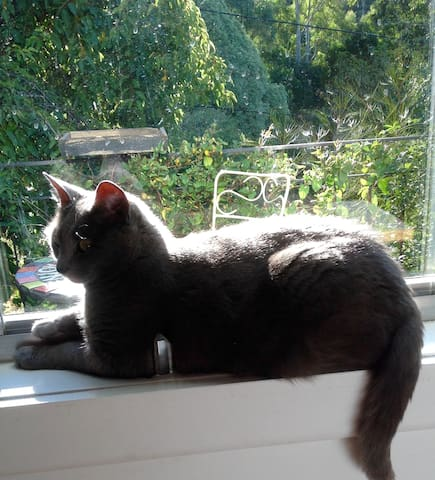 """Skye"" my blue burmese sitting on the window sill."