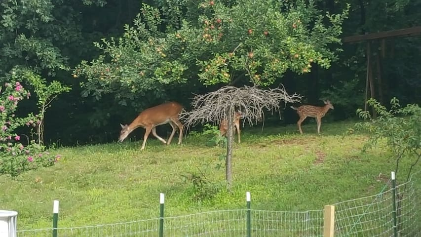 Deer hanging out in the back yard.
