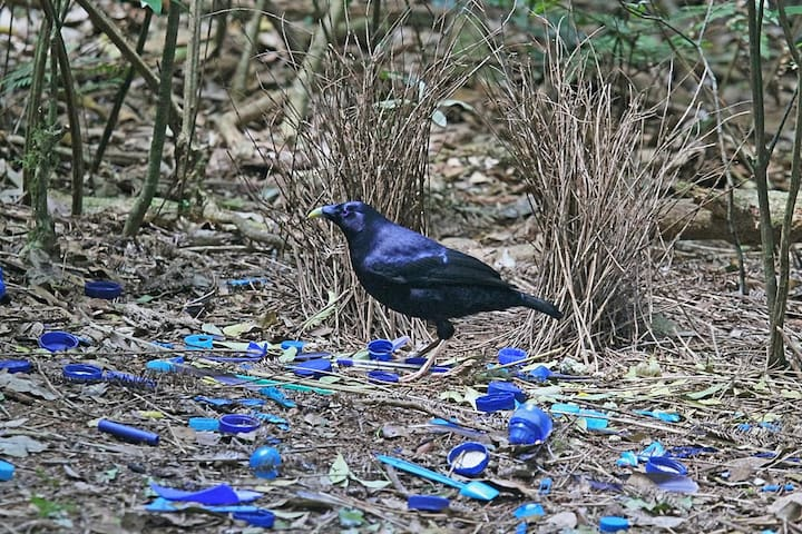 Our resident bower bird. Our region is a Bird watchers paradise