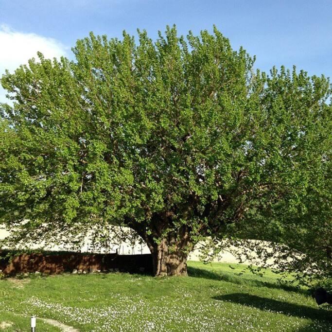 mullberry in front garden