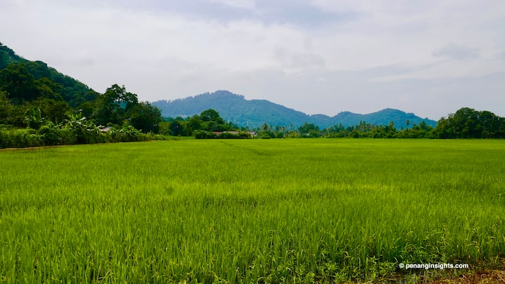 Paddy fields at Balik Pulau, Penang