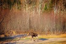 Yearling moose wandering the driveway and lawn in spring.
