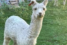 Nimble our friendly Alpacca