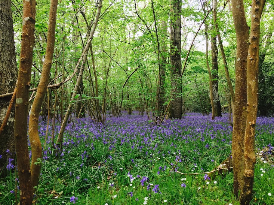 Ancient bluebell woods on your doorstep