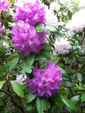 The Rhodies love the climate and soil around my pool.  They will bloom again!
