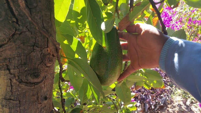 Avocado tree and many other fruit trees