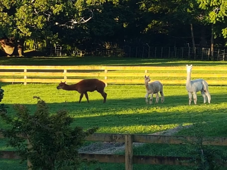our Alpacas. Welcome to view and hand feed upon request.