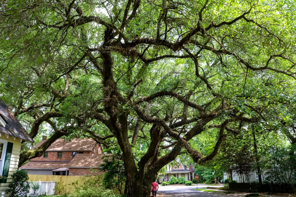 One of the best parts about Midtown Mobile is the scenery. Mobile is lucky to have wonderfully aged Grand Oak Trees overlooking just about every neighborhood. They give Mobile a certain charm that can be seen in very few other cities.