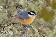 La sittelle à poitrine rousse est un oiseau omniprésent dans l'environnement de la tour Québecphotogravie.
