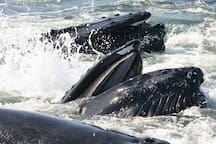 Watching whales filter feeding ... or are they doing the backstroke? Only your whale watching guides know for sure!