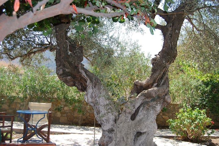 the typical olive of our garden.