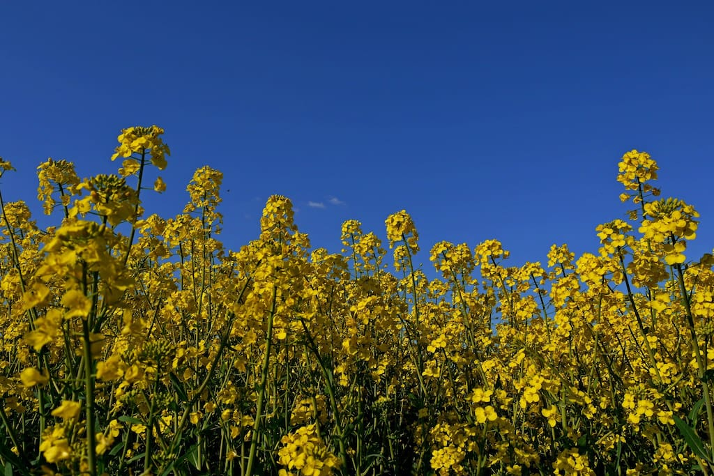 Between mid April and mid August you can enjoy walking along rape fields.