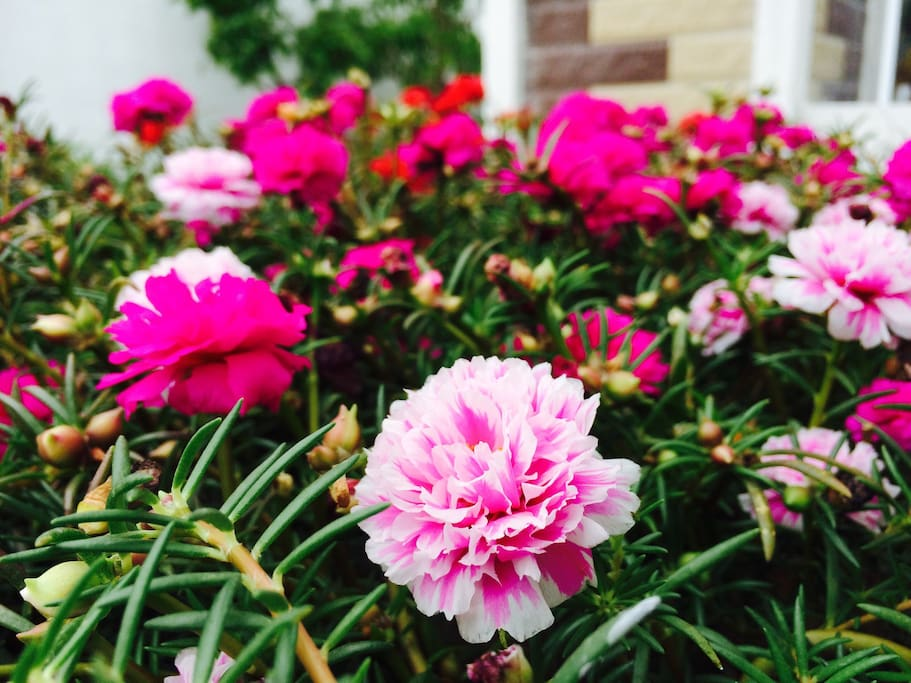 Portulaca is the main flower of our house and you can see it blooms at around 10AM everyday.