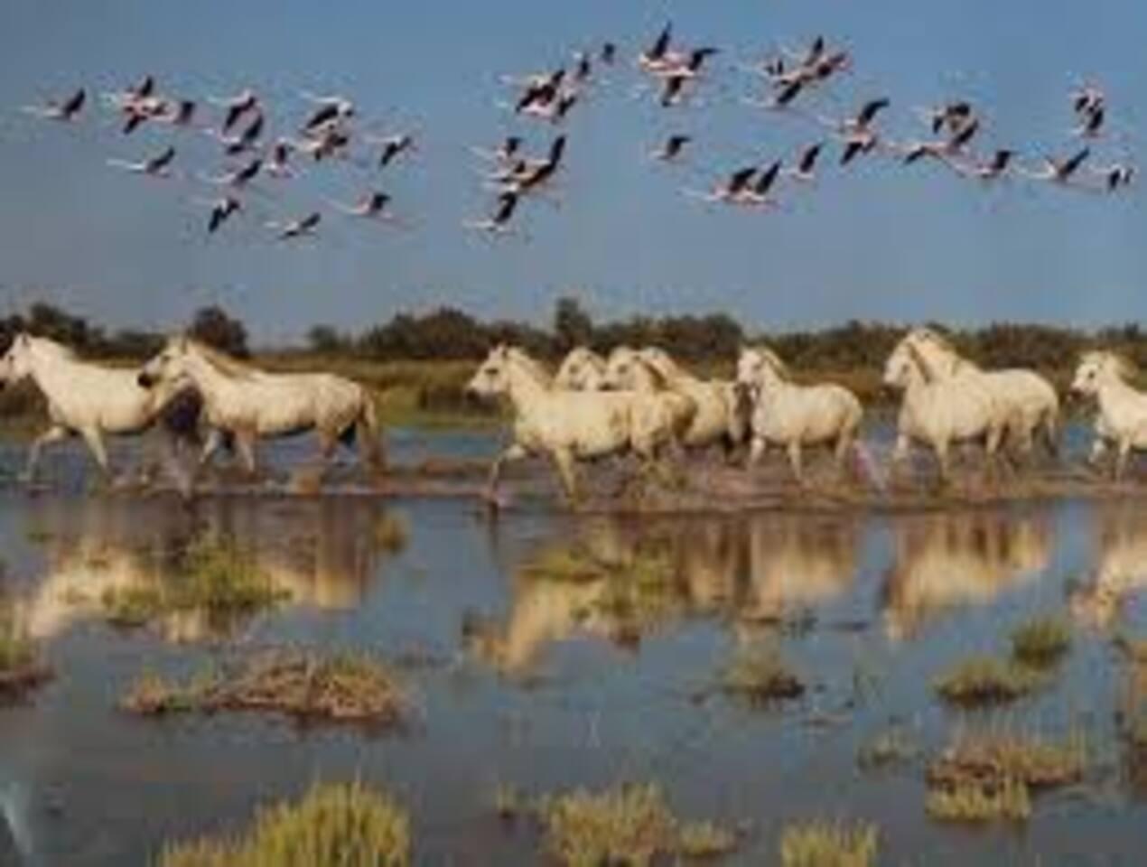 vol de flamands au dessus des chevaux de Camargue
