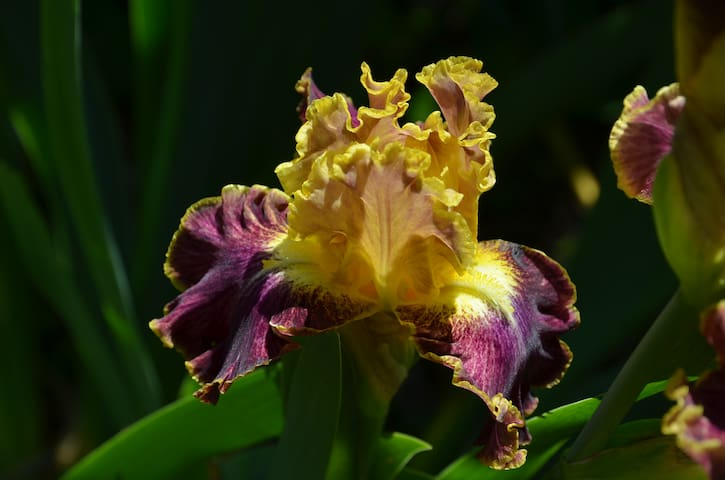 Iris from our garden.  The scent is delicious.  These flower at the same time as the lily-of-the-valley (April-May) - what a wonderful combination!