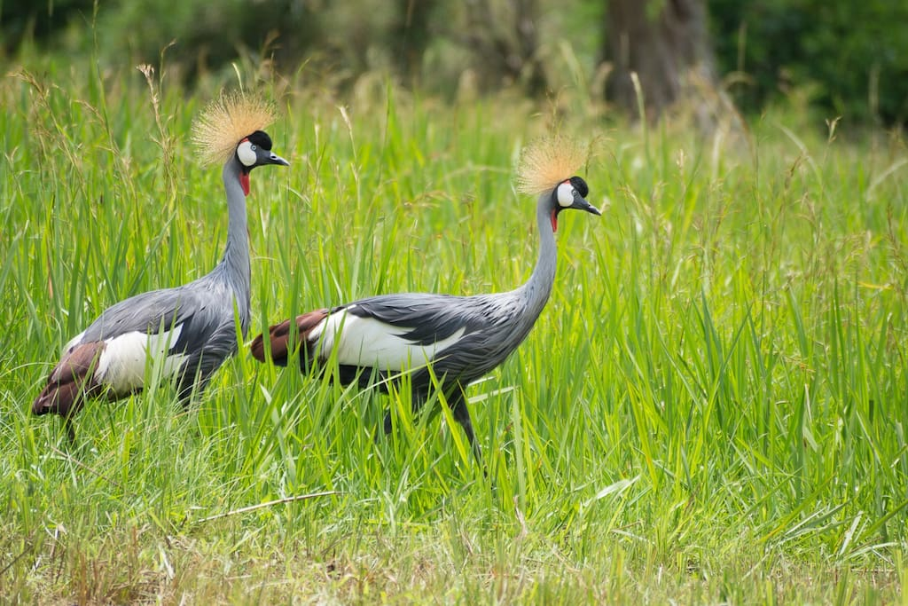 If you are lucky you can see the Crowned Cranes in the morning hours in the garden.