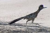 Roadrunner (photo by Airbnb guest)