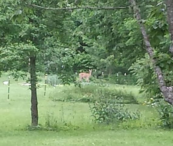 Deer in our meadow