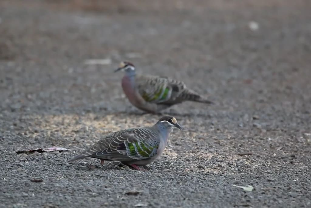 The Common Bronzewing. (Phaps chalcoptera)