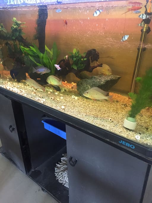 客厅的鱼宝宝们