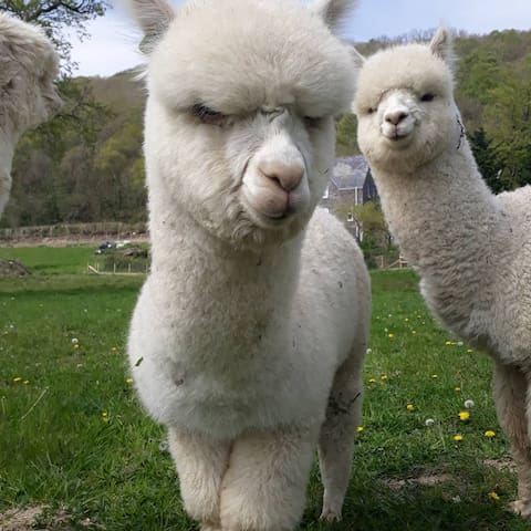 Brecon Alpaca Experience - Trekking and Apartment