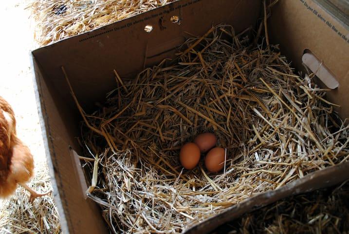 Fresh eggs for breakfast from our own free-range hens