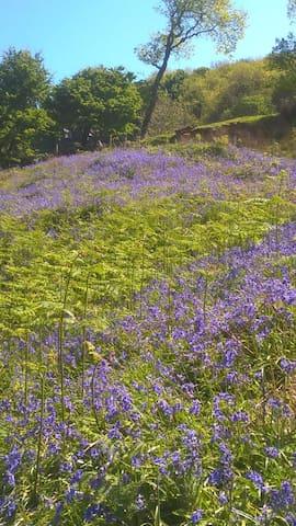Bluebells at Mullough Bay