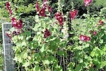De stokrozen in bloei