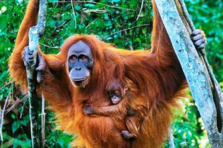 Wild Orangutan Preserve Trek Adventure Clean, Wifi - Stabat - Casa